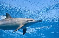 spinner dolphin underneath the surface, shaab samadai, red sea, egypt, Spinner Dolphin, Stenella longirostris,