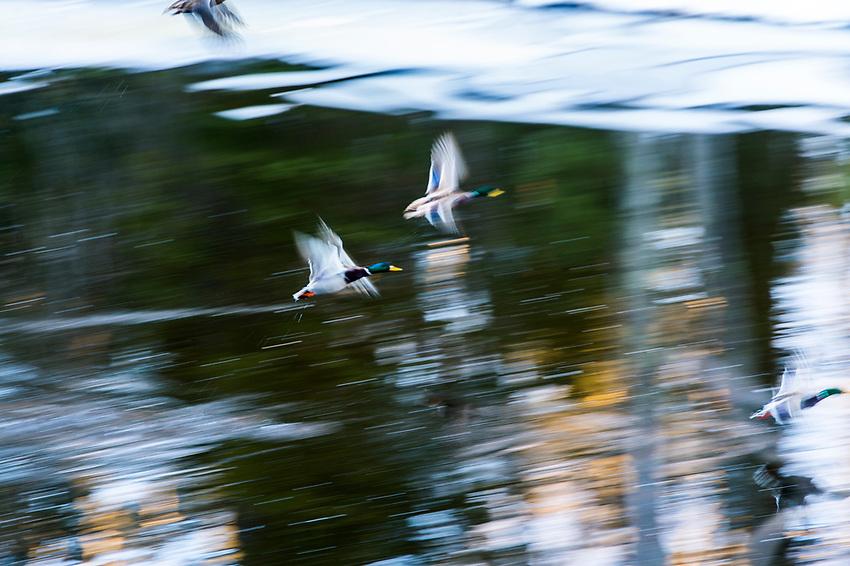 Ducks take flight along the Dead River in Marquette, Michigan.