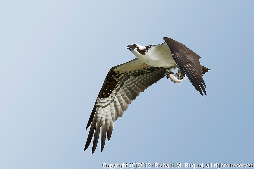 Osprey in flight with a fish