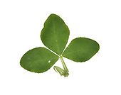 Alsike Clover - Trifolium hybridum
