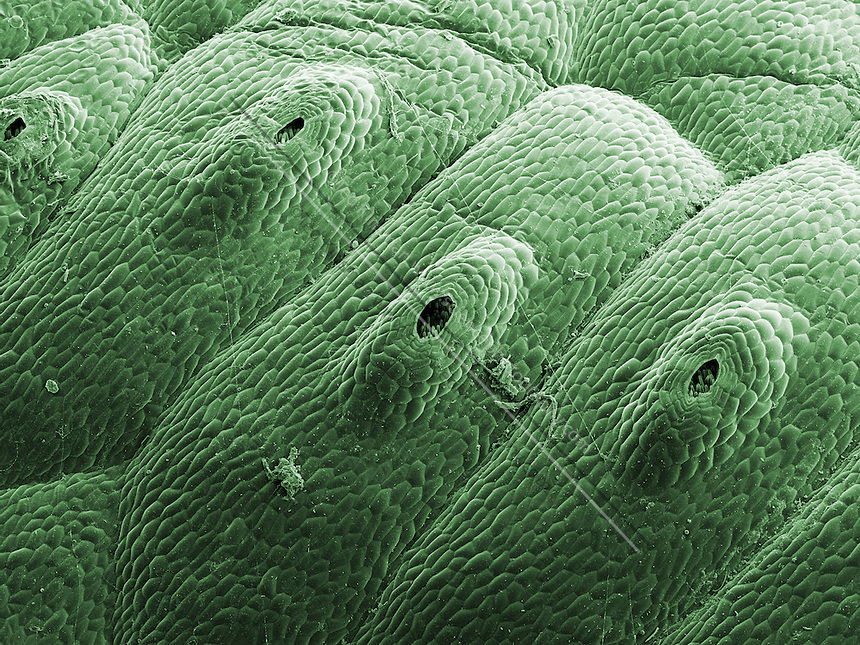 Scanning electron microscope image of Snake Liverwort (Conocephalum conicum).  This specimen was collected in the moist glens of the Finger Lake Region of New York State.  Liverworts (class Hepaticae) are related to mosses. They grow in damp habitats and are found on the ground and moist rock surfaces. They have no true vascular tissue, but are attached to the ground by means of root-like rhizoids.  Liverworts can reproduce vegetatively by fragmentation of the thallus or by producing specialized cell masses called gemmae.   The central structures in this image are the reproduction organs. Magnification is 45x and represents a section of the plant 4 mm wide...