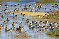 Ducks (northern pintails, gadwalls, American wigeon, mallards) with a couple Greater White-fronted Geese feeding and resting in shallow ponds.  Western U.S., October.