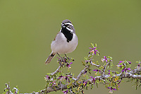 Black-throated Sparrow, Amphispiza bilineata,adult on blooming Guayacan (Guaiacum angustifolium), Starr County, Rio Grande Valley, Texas, USA
