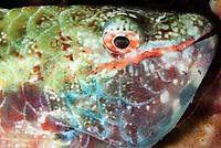 Redband parrotfish, sleeping, Sparisoma aurofrenatum, Bonaire, Caribbean Netherlands, Caribbean