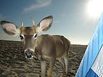 Fawn deer looking in tent at beach