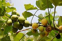 Bangladesh , the Jatropha plant grows in villages as fencing , the nuts of the plant have a high oil content and can be used as biofuel / Bangladesch , Jatropha waechst in Doerfern als Hecke , aus der oelhaltigen Frucht laesst sich Biodiesel gewinnen