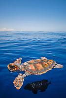 Caretta caretta, Loggerhead Turtle, Imperial Blackfish, Azores-Portugal