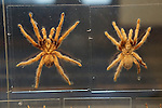 tarantula specimens