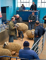 Some of the 1,000 lambs going through the ring.