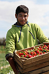 A Palestinian farmer harvests strawberries from a field in Beit Lahia, in the northern Gaza Strip, on February 14, 2018. Palestinians use Strawberries or a red gold as gifts in Valentine's Day, where people around the world celebrate on February 14, in World Valentine's Day. Photo by Mahmoud Ajour