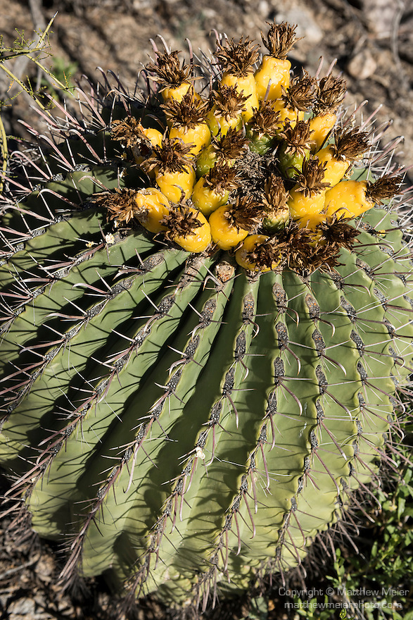 Tucson, Arizona; fruit of a barrel cactus with early morning sunlight