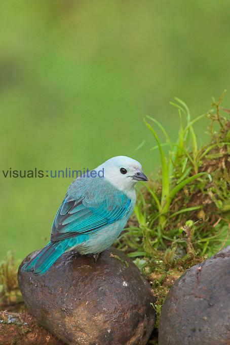 Blue Gray Tanger, Costa Rica