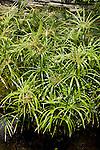 CYPERUS ALTERNATIFOLIUS, UMBRELLA PLANT