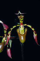 Paphiopedilum haynaldianum orchid species endemic to the islands of Negros and Luzon of the Philippines, lithophytic