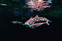 Digital composition Spinner Dolphin Colors - spinner dolphin, Stenella longirostris, Kona Coast, Big Island, Hawaii, USA, Pacific Ocean