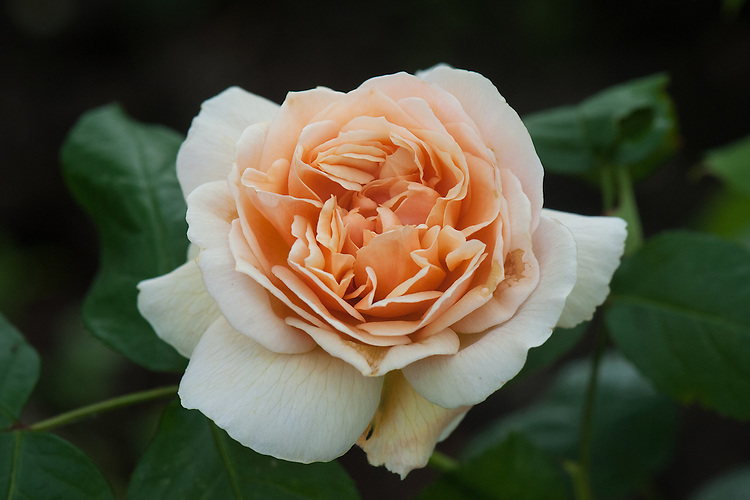 Rosa Sweet Juliet ('AusLeap'), late June. A tall upright shrub rose with shallow-cupped, double, fragrant, apricot-coloured flowers. From David Austin, 1989.