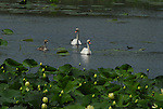 A family of three Mute Swans (Cygnus Olor) paddle across a pond of yellow lotus.
