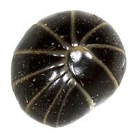 Pill Millipede - Glomeris marginata