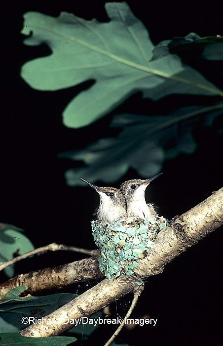 01162-021.02 Ruby-throated Hummingbird (Archilochus colubris) nestlings, Marion Co.   IL