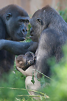 Germany, DEU, Muenster, 2006-Sep-21: A nine weeks old gorilla baby (gorilla gorilla) is being held by its mother with its father sitting vis-à-vis in the Muenster zoo.