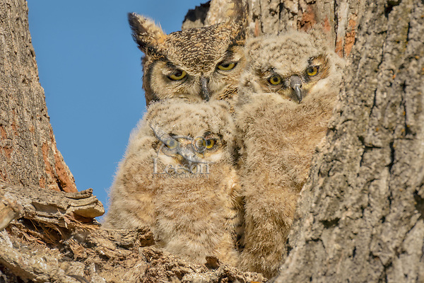 Young Great Horned Owlets (Bubo virginianus) watch from the crotch of a tree while mom keeps watch too.  Oregon, spring.