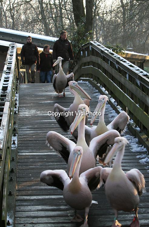 Foto: VidiPhoto..RHENEN - Mars der roze pelikanen. Verzorgers van Ouwehands Dierenpark in Rhenen hebben dinsdag het eerste deel van de in totaal 16 roze pelikanen naar een verwarmd verblijf gebracht. De Afrikaanse dieren, die tot nog toe buiten waren, kunnen niet tegen de koude nachten die er aan staan te komen. Om te voorkomen dat poten en vleugels bevriezen blijven ze daarom binnen totdat de winter voorbij is..