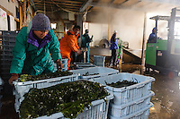 Boxes of boiled wakame, harvesting wakame at dawn, Awata fishing port, Naruto, Tokushima Prefecture, Japan, February 4, 2012.