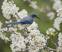 Western Scrub-Jay (Aphelocoma californica), adult perched on blooming Mexican Plum (Prunus mexicana, Hill Country, Texas, USA