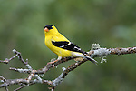 American goldfinch - male