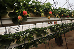 A Palestinian girl Haneen Abu Daqqa, 27, inspects hanging Strawberry plants at green house in Khan Younis in the southern of Gaza Strip on January 15, 2020. Hanging Strawberry succeeded for the first time in the southern Gaza Strip. Photo by Ashraf Amra