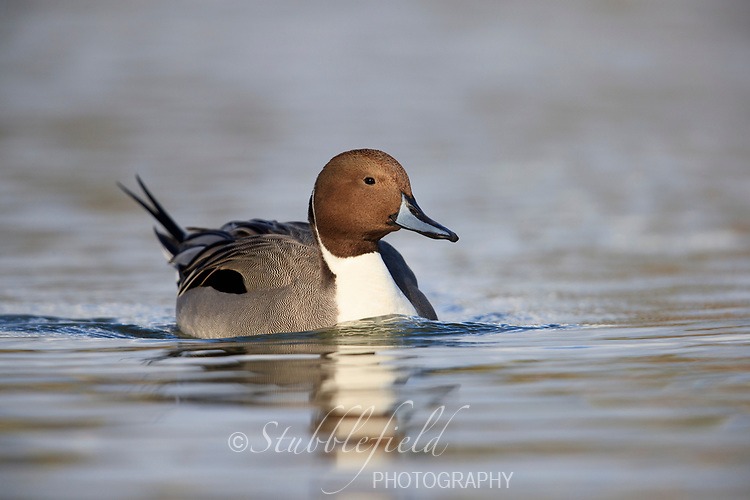 Northern Pintail (Anas acuta), male in breeding plumage swimming in a lake in Papago Park in Phoenix, Arizona.