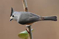 A bird of Texas and northeastern Mexico, the Black-crested Titmouse is common in oak woods and towns.