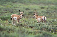 673080097 wild pronghorn antelope antilocarpa americana graze in open plains in bryce canyon national park utah united states