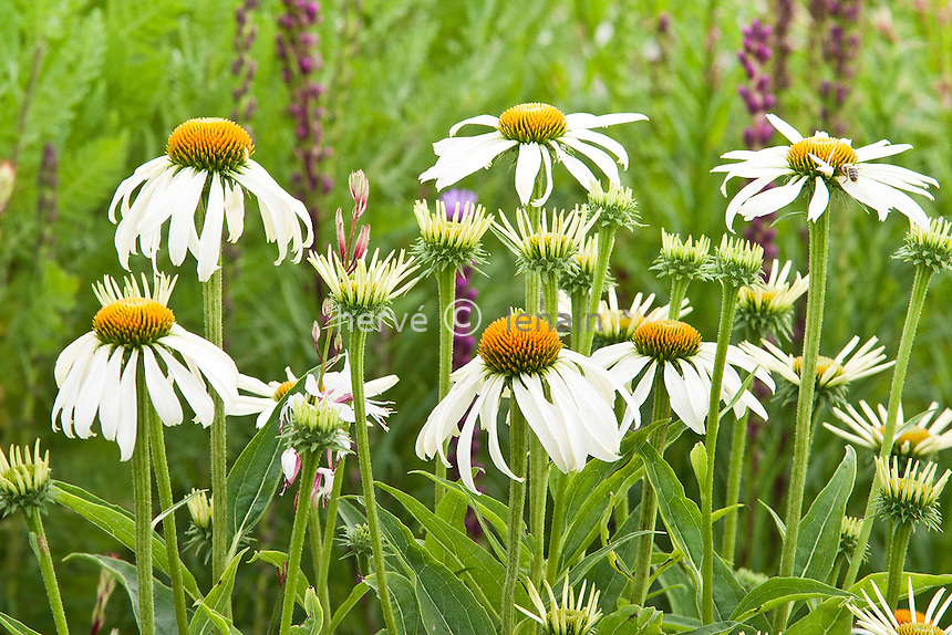 Echinacea purpurea 'White Lustre' // Purple coneflower 'White Lustre'