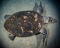 Hawksbill sea turtle, Eretmochelys imbricata, night, West Palm Beach, Florida, USA, Atlantic Ocean, Hawksbill sea turtle swimming at night