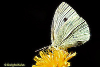 LE03-004z  Butterfly - Cabbage White Butterfly adult - Pieris rapae