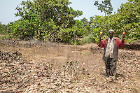 Cashew Farmer Holding two Cashew Apples and Nuts.  Example of a Less Well-tended Cashew Tree Farm, with less pruning of lower limbs, less clearing of underbrush.  Near Sokone, Senegal