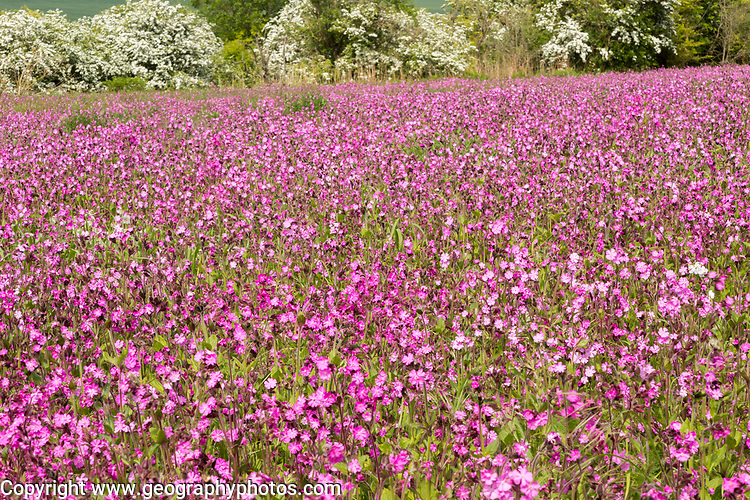 Red campion, Silene dioica, flowering chalk upland grassland Salisbury Plain, near Tilshead, Wiltshire, England, UK