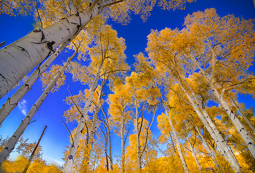 Fall foilage has arrived at an aspen tree forest in the Dixie National Forest in Southern Utah