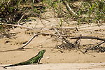Monkey River, Belize, Central America; a green iguana sits on the sand at the edge of the river sunning itself , Copyright © Matthew Meier, matthewmeierphoto.com All Rights Reserved
