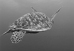 Green turtle swimming, Chelonia mydas, Gili Trawangan, Lombok, Indonesia, Pacific Ocean, endangered species