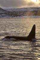 Adult male killer whale surfacing and spouting. Tysfjord, Arctic Norway