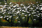 "A flock of snow geese photographed on in the Delta region near Antioch California.  A photo illustration done with the ""watercolor"" tool in Adobe Photo-shop."
