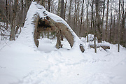 Birch tree with exposed roots along Old Bridle Path during the winter months in the White Mountains, New Hampshire USA
