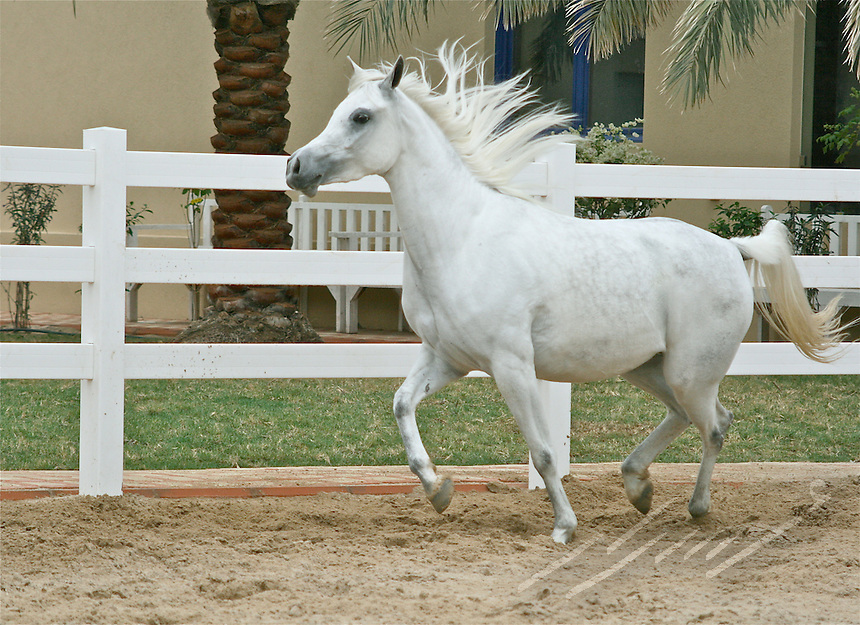 Arabian white horses from a unique egyptian breed elegantly running around in Al-Safinat Stable, Wafra, Kuwait.