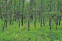 Pitch Pine Forest, Wharton State Forest, Pine Barrens, New Jersey