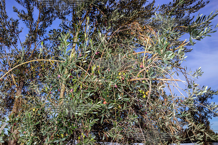 An olive tree in the Kara Tepe refugee camp.