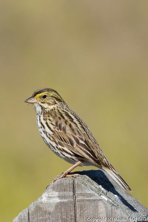 Belding's Savannah Sparrow.(Passerculus sandwichensis beldingi).Bolsa Chica Wetlands, California