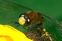 1O06-032a  Skimmer Dragonfly - Ruby Meadowhawk Male - Sympetrum rubicundulum