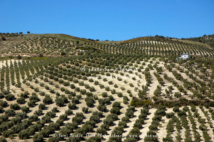 Rows of olive trees growing in the village of Baena, Andalusia, Spain.